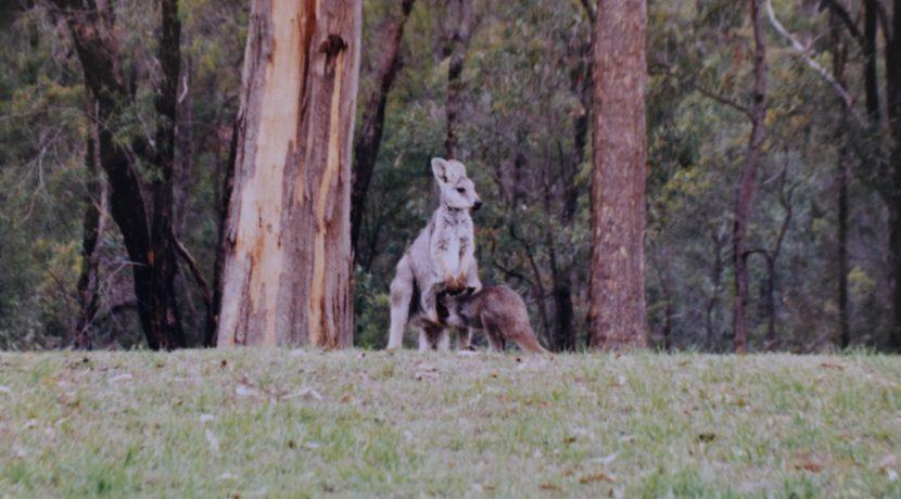 Kangaroos on yard